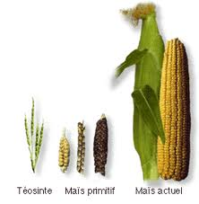 Early and modern examples of New World corn