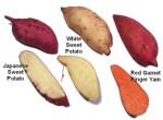 A variety of modern sweet potato types