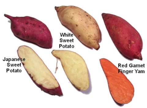 A variety of modern sweet potato types
